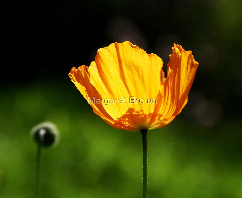Orange Icelandic Poppy by Margaret Brown