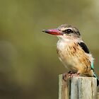 Brown Hooded Kingfisher by Shaun Colin Bell