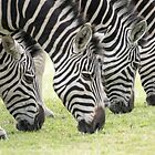 Grazing Stripes by Shaun Colin Bell