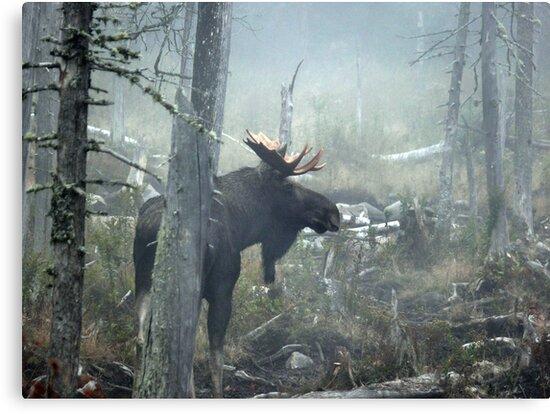 Bull Moose In Morning Mist by mooselandtours