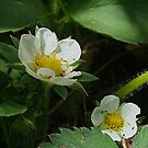 Strawberry Blossoms by Stephen Thomas