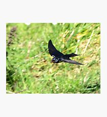 One Swallow Does Not a Summer Make Photographic Print