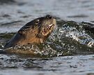 River Otter with Fish by WorldDesign