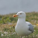 Herring Gull Side View by kernuak