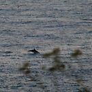 Porpoises by dougie1