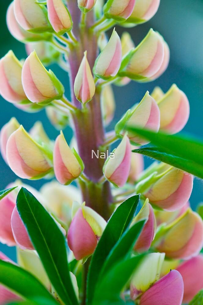 Lupin  by Nala