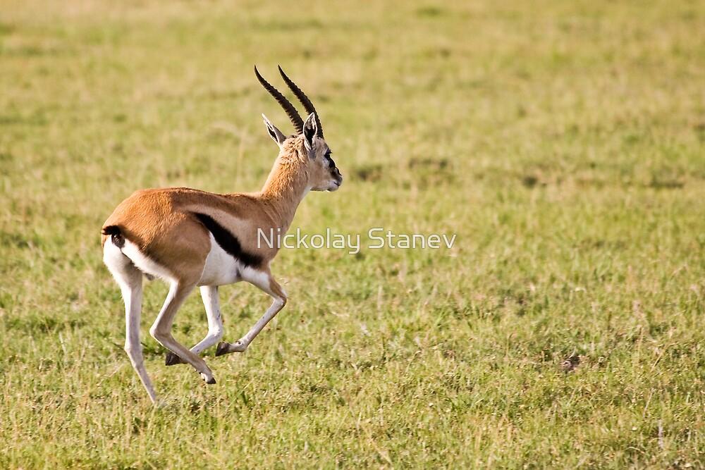 Thomson Gazelle by Nickolay Stanev
