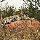 Leopard resting, Kruger N P, South Africa by Bev Pascoe