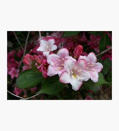 Spring Pinks - Carnival Wigelia 5 Photographic Print