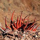 Aloe - Fish River Canyon Namibia by MacLeod