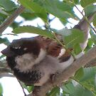 Black Throated Sparrow in a Tree in New Mexico by janetmarston