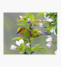 Blue winged Warbler Photographic Print