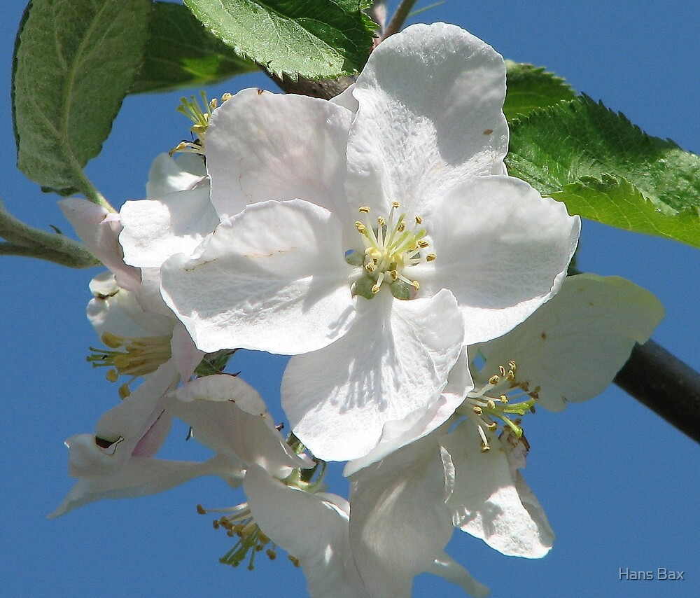 Blossom by Hans Bax