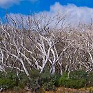 Trees at Mount Hotham, Victoria, Australia by Pauline Tims