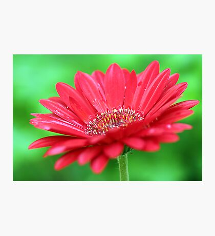 Red Daisy II Photographic Print