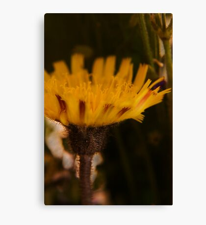 Yellow and Claret (from wild flowers collection) Canvas Print