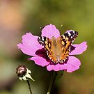 Monarch Butterfly on Pink Cosmos by Lori Peters