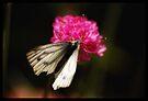 Butterfly 2 by Kerensa Davies