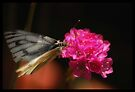 Butterfly 3 by Kerensa Davies