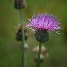 Texas Thistle by Colleen Drew