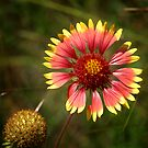 Indian Blanket  by Colleen Drew