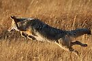 Coyote Action by WorldDesign