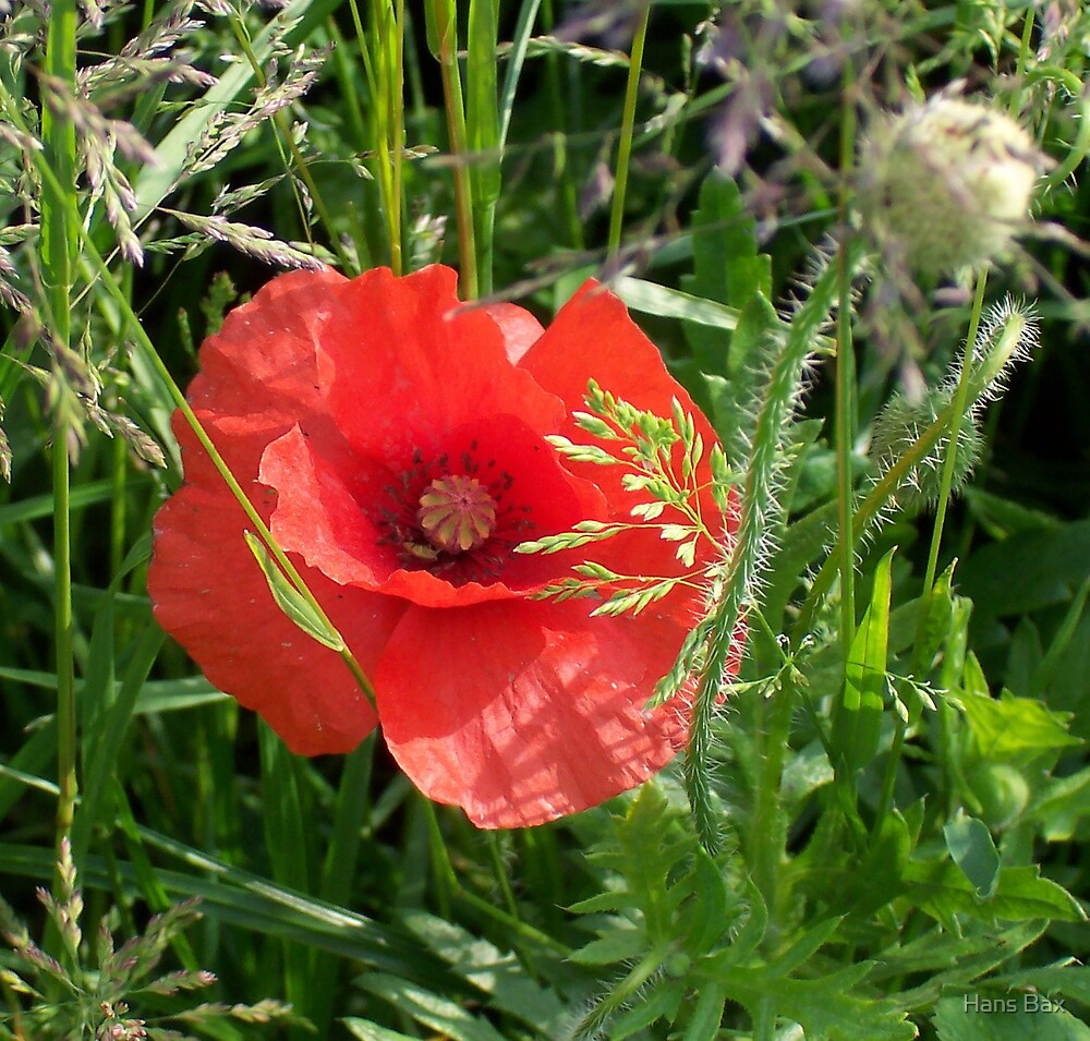 Cornpoppy by Hans Bax
