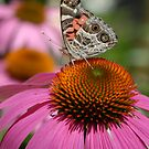 Buckeye on Pink Cone Flower by Colleen Drew