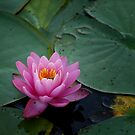 Pink Waterlily by Colleen Drew