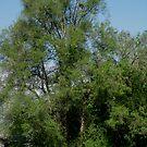 Unusual Tree by Linda Miller Gesualdo