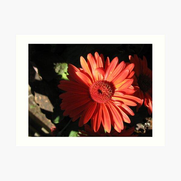 gerber daisy Art Print