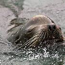 California Sea Lion by Jan  Wall