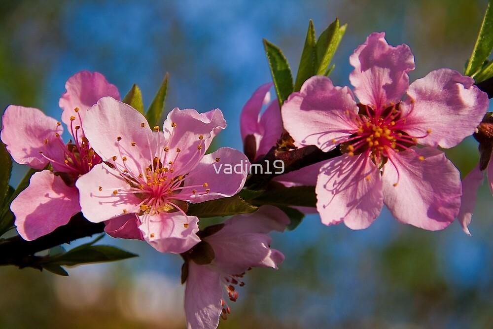 Peach Blossom. by vadim19