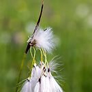 Cotton Grass by Kasia-D
