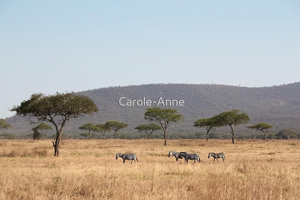 Plains Zebra, in the landscape, Serengeti National Park, Tanzania by Carole-Anne