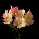 Rhododendron Blossom by Ann Garrett