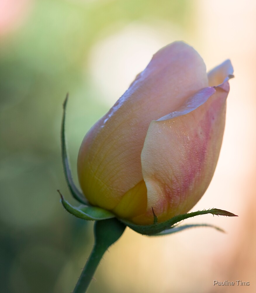 Rose Bud by Pauline Tims