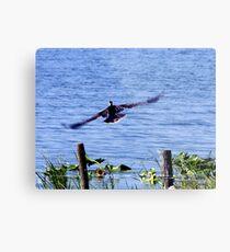 Cormorant in flight Metal Print
