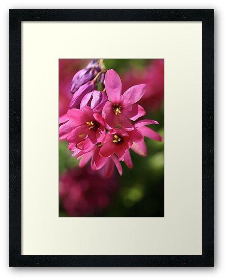 Pink Ixia by Joy Watson