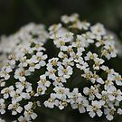 Little White Flowers by elm321