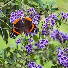 Red Admiral by Bob Hardy