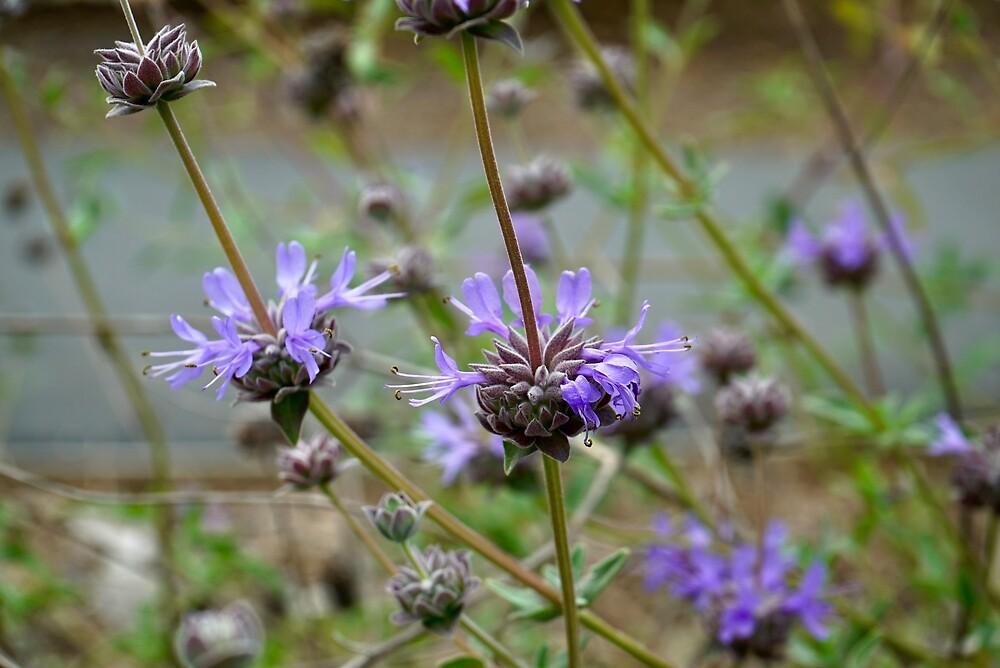 Sage/Salvia Flowers - San Fernando Valley, California by Douglas E.  Welch