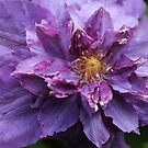 Double Purple Clematis by Astrid Ewing Photography