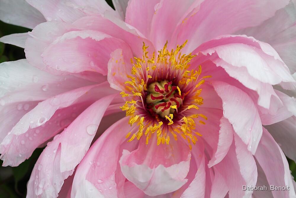 Peonie In Pink by Deborah  Benoit