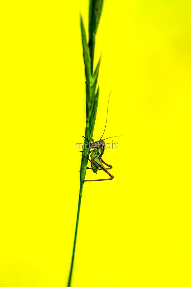 Grasshopper and Yellow by mdetroit