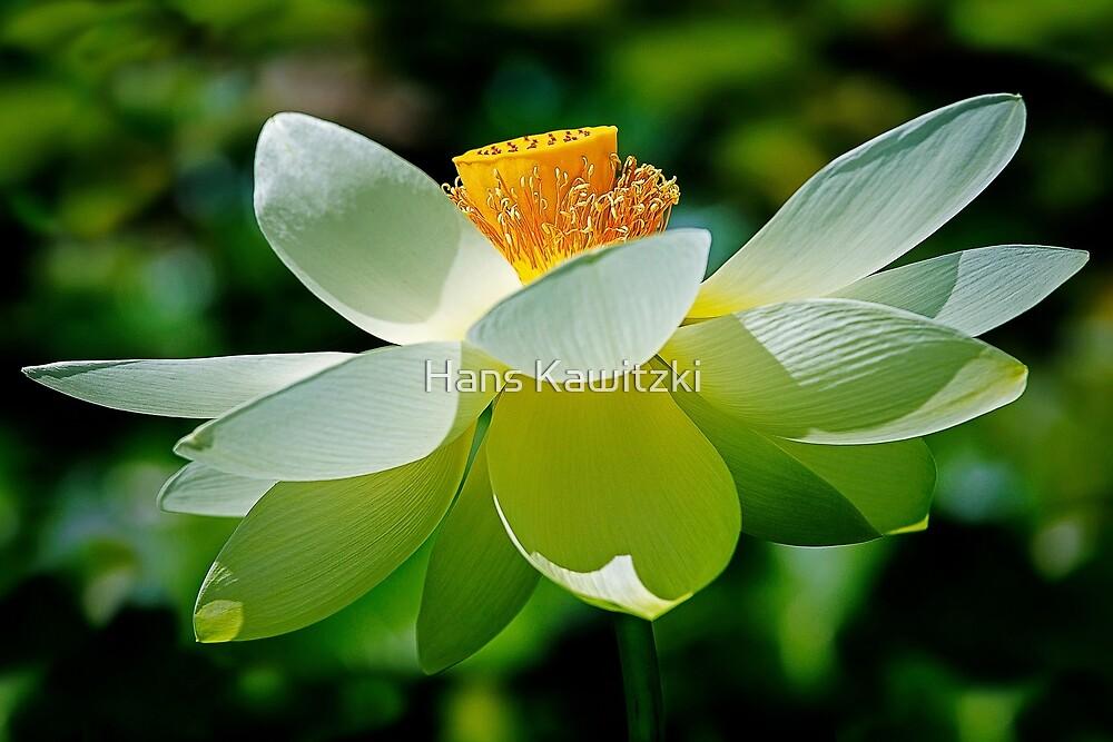1800 Lotus flower by Hans Kawitzki