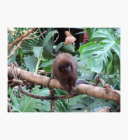 Red Titi Monkey Photographic Print