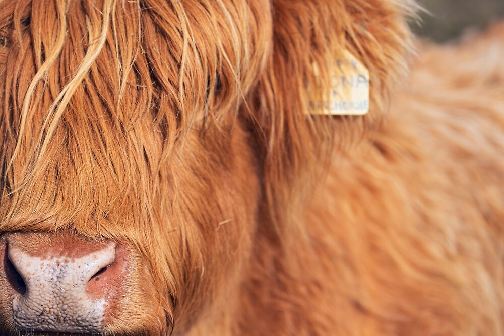 Hairy Coo by FoxTalePhoto