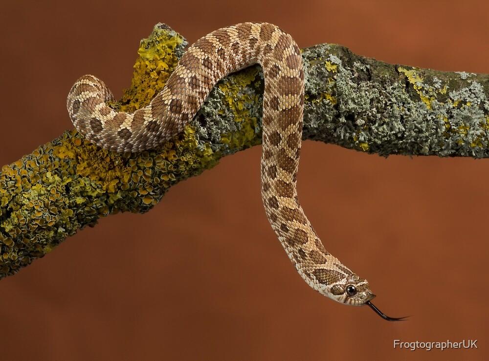 The inquisitive Hognose snake by FrogtographerUK