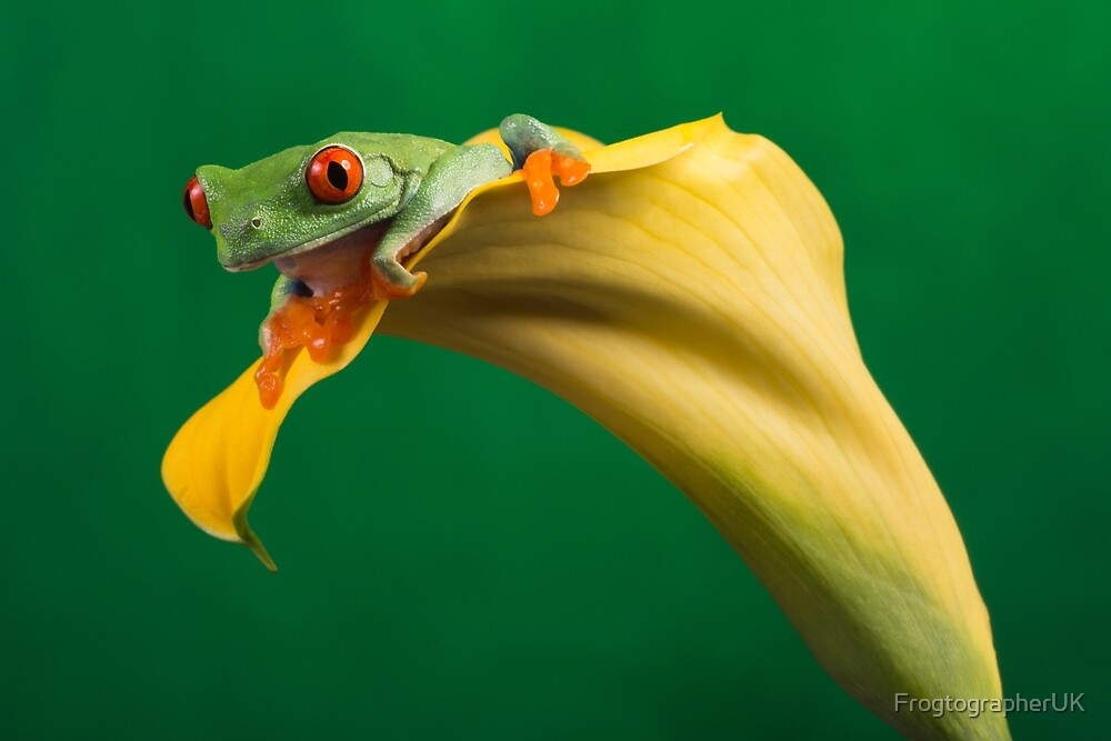 Red eyed tree frog on yellow lily by FrogtographerUK